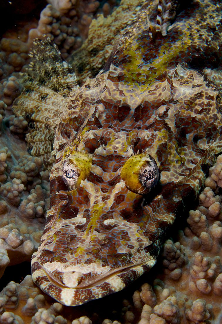 1200px-cymbacephalus_beauforti_crocodilefish_png_by_nick_hobgood