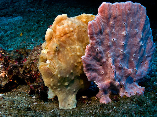 frogfish_camouflage