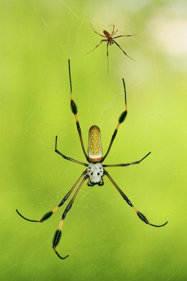 erkek örümcekten sırt masajı