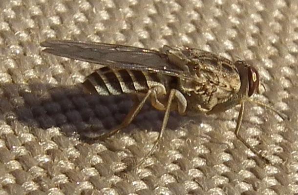 Çeçe sineği