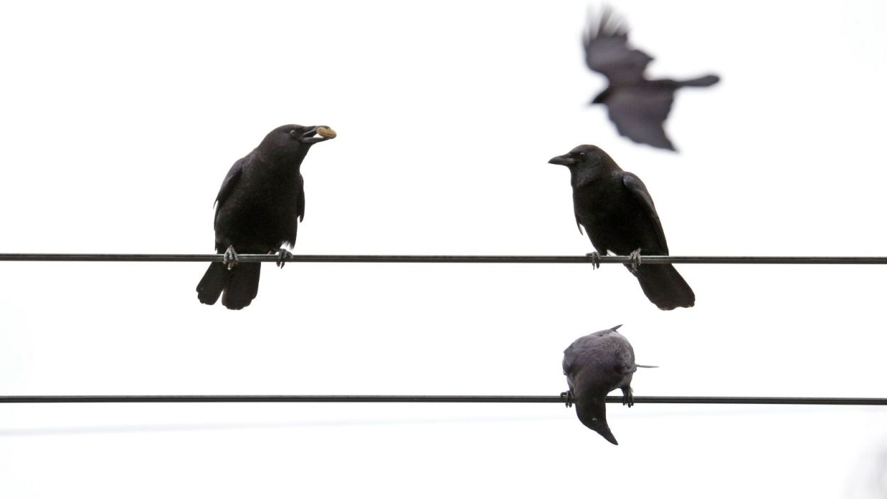 crows_1